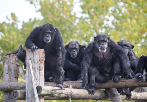 chimpanzee-in-research-2-kathywest2015